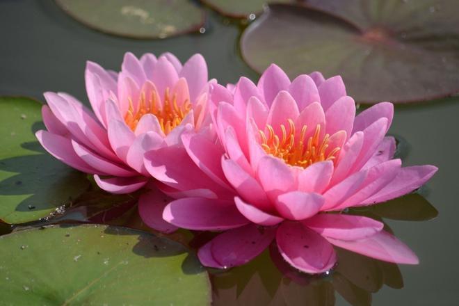 Lilia, księżna kwiatów.