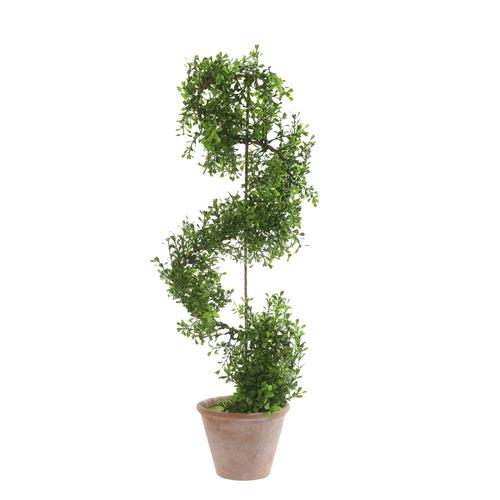 Bukszpan - drzewko