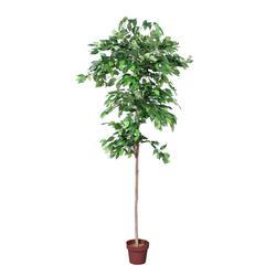 Fikus - drzewko (T886)