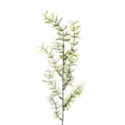 Asparagus - gałązka dekoracyjna (L300)